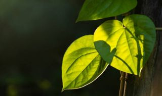 daun sirih, manfaat daun sirih, obat herbal, jus daun sirih, air rendaman daun sirih, resep obat daun sirih,