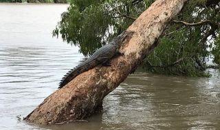 australia banjir, buaya,