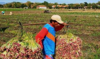 Petani Bawang Merah