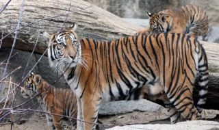 harimau, harimau sumatera, berlin,