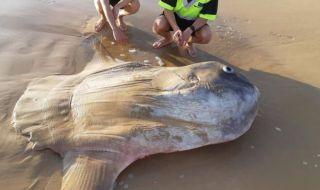 Ikan Mola-mola Raksasa Tersapu di Pantai Australia Selatan
