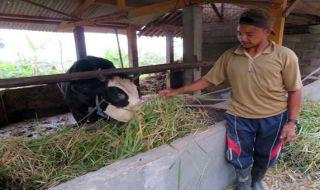 Ternak Warga di Lereng Merapi