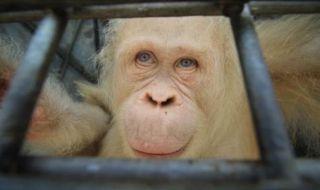 Orang Utan Albino, Orang Utan Dilepasliarkan, Orang Utan Albino Kalimantan