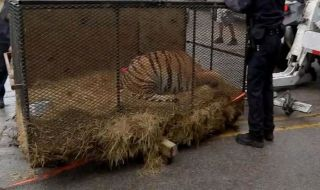 harimau, harimau gendut, ganja, polisi,