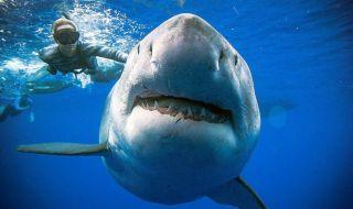 hiu raksasa, hiu, megalodon, hawai,
