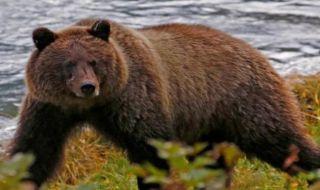 beruang diburu