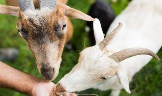 Siswa di Berlin Bersekolah dengan Kambing, kambing