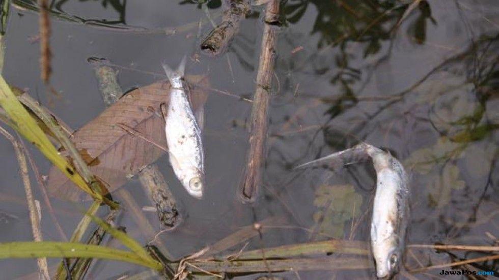 ikan sturgeon, ikan, mati masal,