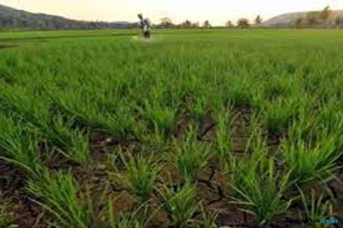 Ancaman Kekeringan Berpotensi Tekan Produksi Beras Nasional