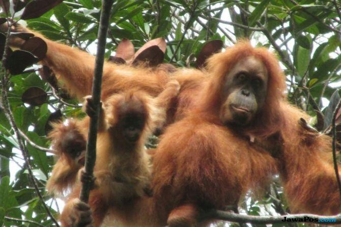 Bayi Kembar Orangutan Tapanuli Ditemukan: Si Pemberani dan Si Pemalu