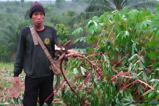 Belasan Gajah Liar di Riau Keluar Hutan Masuk Pemukiman dan Perkebunan