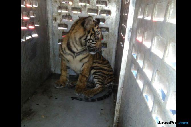 Bikin Resah, Harimau Sumatera Itu Diberi Nama Si Bujang Ribuik