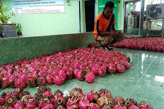 Harga buah naga di Kabupaten Malang turun menjelang Imlek.