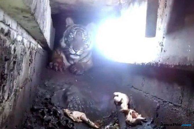 Ditembak Bius 2 Kali, Evakuasi Harimau yang Ngumpet di Kolong Ruko