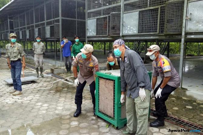Empat Orangutan Dilepasliarkan di Bukit Raya