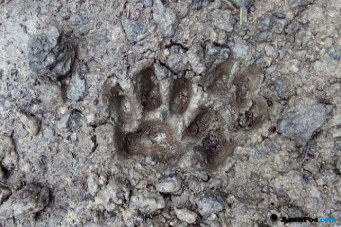 Harimau Sumatera Tewas, Warga Pemasang 50 Jerat Diperiksa Polisi