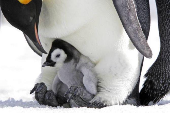 Hidup di Es, Penguin Paling Rentan terhadap Perubahan Iklim