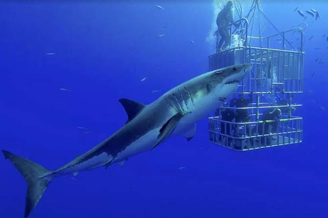 hiu putih, ilmuwan hiu putih, DNA hiu putih