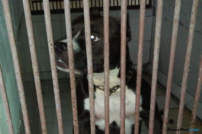 Ingkari Kesepakatan Damai, Pemilik Anjing Pitbull Dilaporkan Polisi
