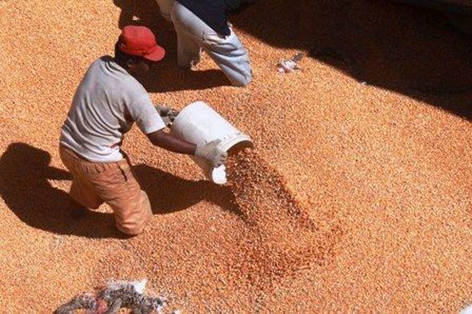 Jokowi Sebut Impor Jagung 180 Ribu Ton, Pengamat: Untuk Pakan Ternak