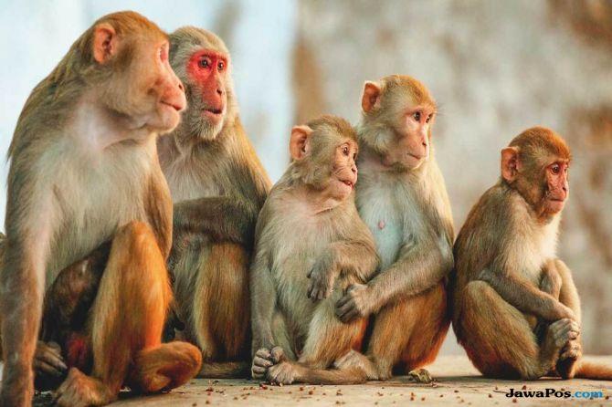 monyet membunuh, monyet, Pembunuhan Dharampal, india,