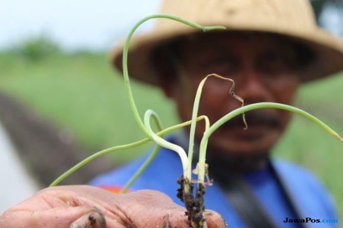 Masuk Musim Kemarau, Petani di Bojonegoro Mulai Tanam Bawang Merah