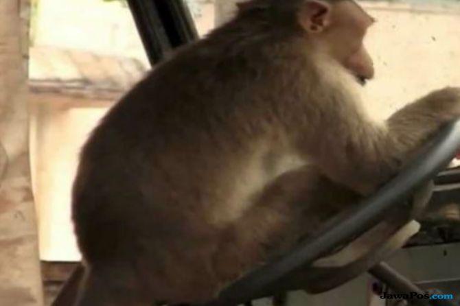monyet nyetir bus, monyet, sopir ceria,