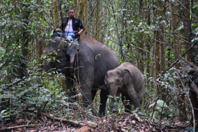 Pergerakan Kawanan Gajah Liar di Riau Mulai Susah Ditebak