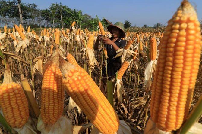 Petani Jagung Siap Panen Raya, Darmin Diminta Pulang Kampung