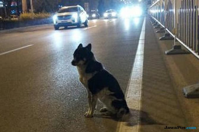 Setia! Usai Kecelakaan Maut, Anjing Mongolia Tunggu Tuannya 80 Hari