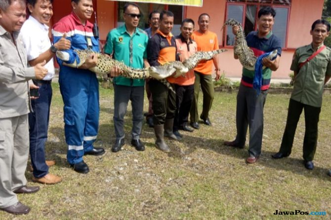 Tiga Buaya Muara yang Akan Dikonsumsi Diserahkan ke BBKSDA Riau