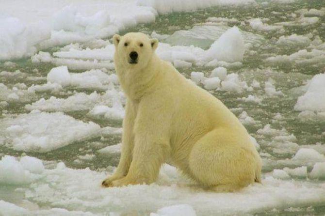 beruang kutub, rusia, pulau, invasi,