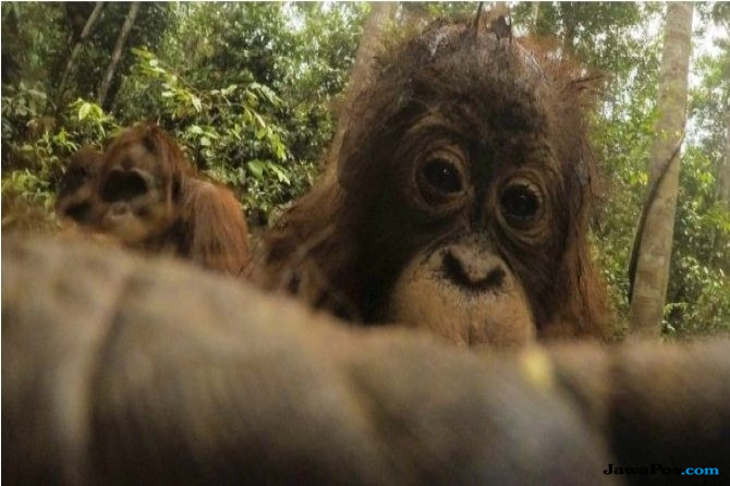 Wah, Monyet Zaman Now Suka Selfie!