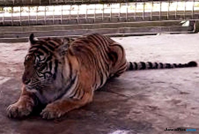 Harimau yang Menampakan Diri Selama 2018, Dua Orang Tewas Diterkam